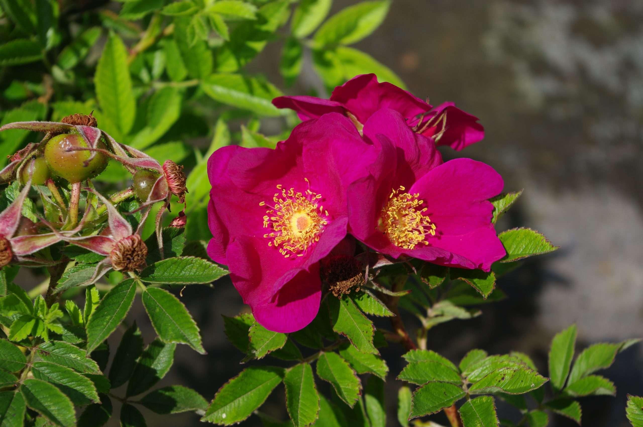 Purple Valeda