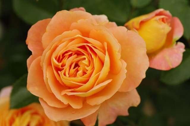 Sangerhauser Jubilaumsrose